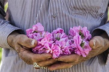 تصویب اساسنامه کانون گل محمدی و گیاهان معطر کاشان